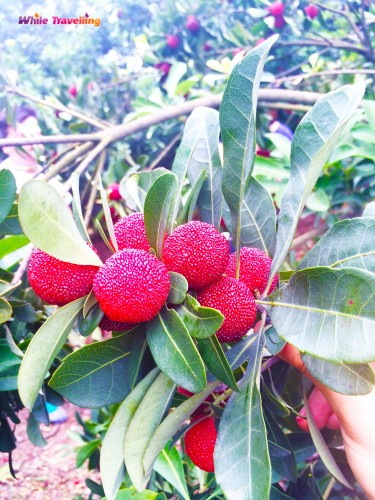 Yuyao Red Bayberry Festival
