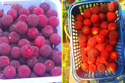 Yuyao Red Bayberry Picking Day