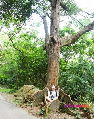 Huge Tree in Victoria Trail