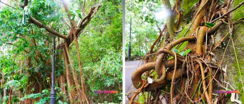 Interesting Trees and root formations in Victoria Trail, Hongkong