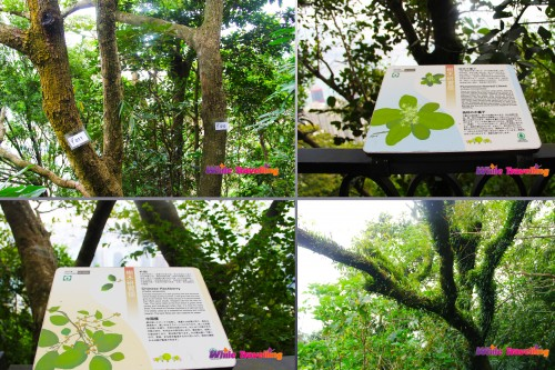 Some of the labelled trees in Victoria Trail, Hongkong